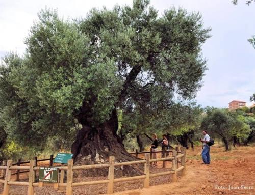 Lo Parot – El padre de todos los olivos.